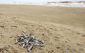Dead fish lie on a beach near Povoacao village, near the mouth of Doce river in Brazil