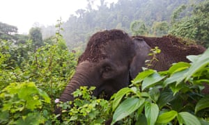 A Sumatran elephant in the Leuser ecosystem, 30th July 2015.