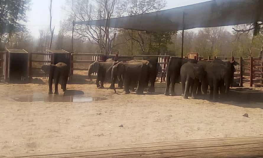 This photo allegedly shows young elephants being held at Umtshibi wildlife capture and relocation unit in Hwange national park.