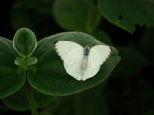 A great southern white butterfly on display at the Butterflies and Blooms exhibition at the Conservatory of Flowers in Golden Gate Park, San Francisco, California, US