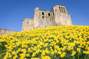 A sea of daffodils in bloom in front of Warkworth Castle, Northumberland