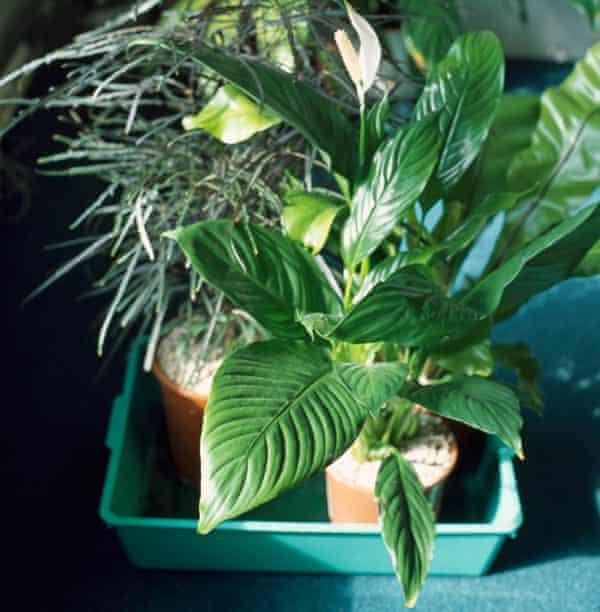 Houseplants on a drip tray