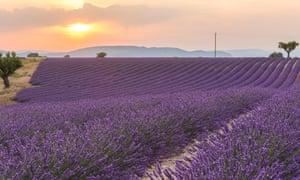 Purple haze … sunset in a lavender field near Digne.
