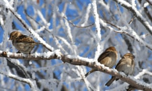 Sparrows perch on a snow- covered branch.