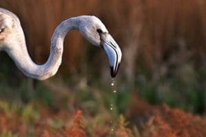 A flamingo searches for food in the wetland of Nea Kios, Greece.
