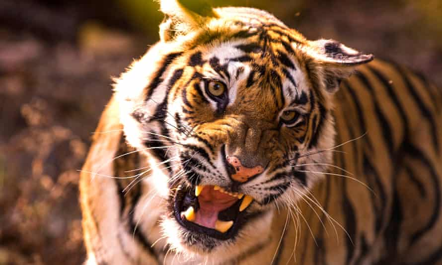 Episode five of the new BBC series Dynasties looks at the fight for survival of a tiger.