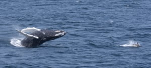 A humpback breaches with a dolphin nearby