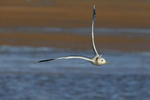 A common gull in flight, Norfolk, England