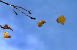 An autumn leaf falls from a tree in Kaufbeuren, southern Germany.