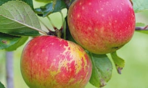 Cultivated apple 'James Grieve'.