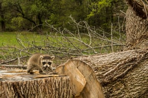 A baby raccoon searches for his family after clear cutting of the forest in the US
