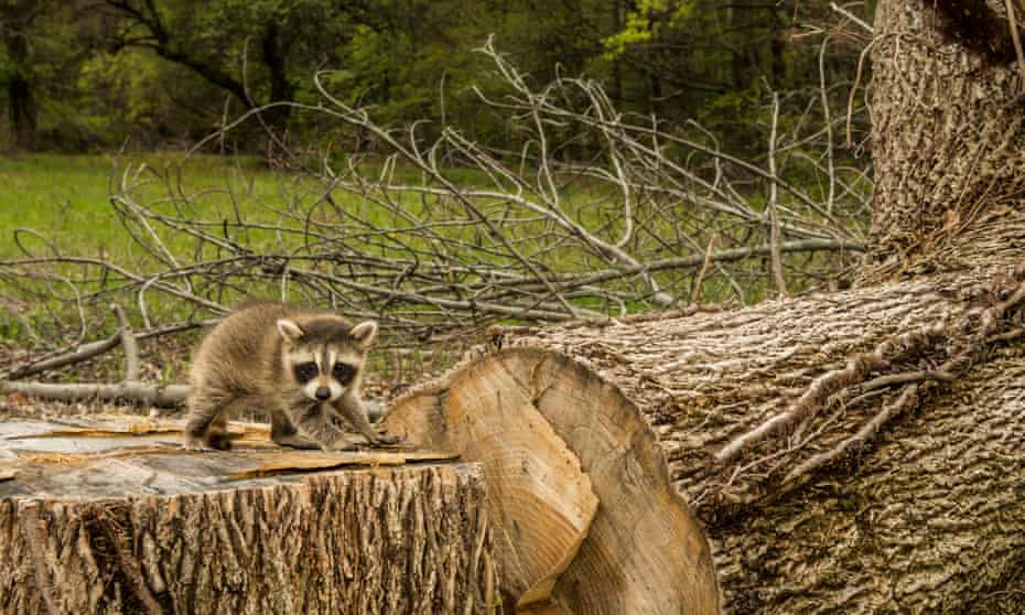 A baby raccoon searches for his family after a deforestation project in the US