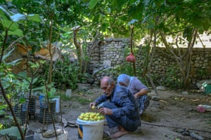 An elderly couple collect the last figs from their garden before the expected flooding of the town