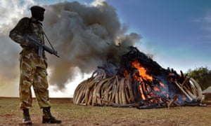 A Kenya Wildlife Services officer watches as 15 tonnes of elephant ivory seized in Nairobi National Park is burned.