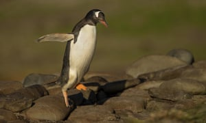 Gentoo penguin hopping from the rocks