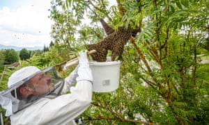 Urban beekeeper Gorazd Trusnovec removes a runaway swarm from a treetop in Ljubljana, Slovenia, on May 14, 2017, by droping as many bees into a bucket, hoping to trap the queen and make the rest of the bees follow. In picking up swarms he often needs help of local fire departments that provide a ladder.