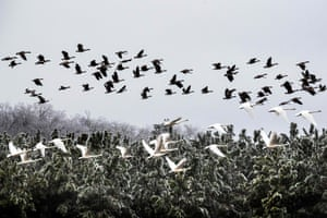 Canadian geese and tundra swans fly past frost-covered trees at the Blackwater national wildlife refuge in Cambridge, Maryland