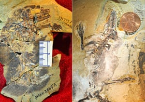 Docofossor (left) and Agilodocodon (right), two Jurassic mammal fossils from China.