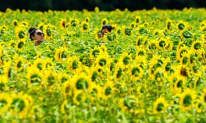Sunflower tourists wander through a sunflower seed field at Bogle Seeds farm.