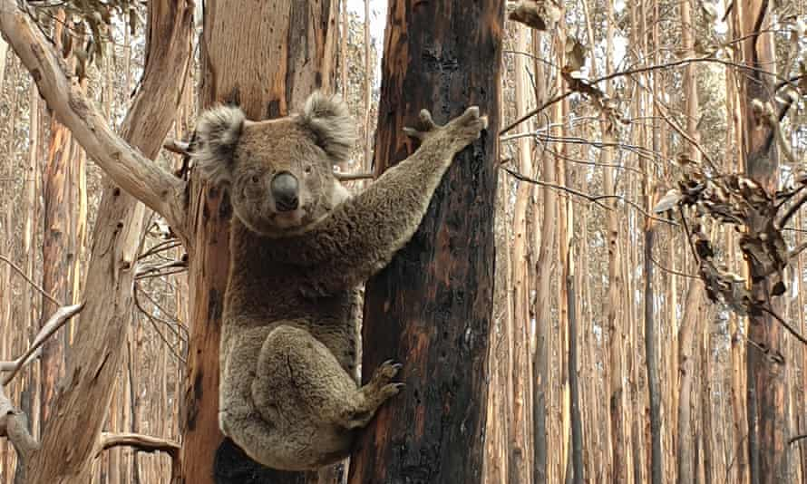 A koala in a burnt forest on Kangaroo Island. The animals that survived the fire risk starving from lack of food.