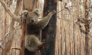 Koala in a burnt forest