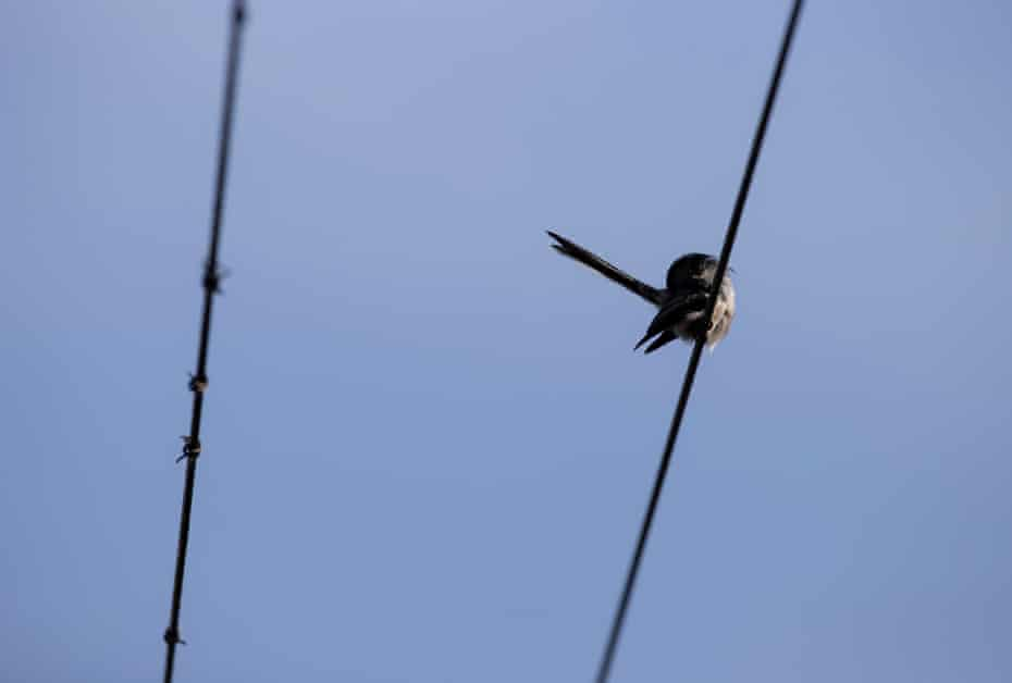 One of the adults dries off in the evening sun after washing itself on a telephone wire above the nest