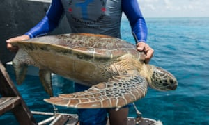 A ranger from Tubbataha marine park in the Philippines returns a tagged turtle to the ocean