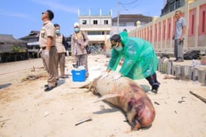 The carcass of an Irrawaddy dolphin. Pollution has spread throughout Balikpapan bay, killing marine life including protected dugongs and dolphins