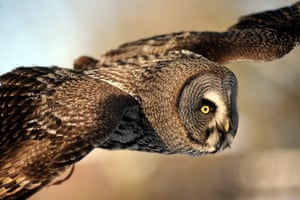 Hoxton, a six months old great grey owl sees snow for the first time at the International Birds of Prey Centre in Newent, England