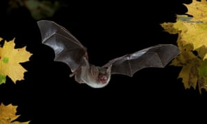 A Greater Mouse-eared Bat in flight