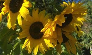 sunflowers were a spectacular success.