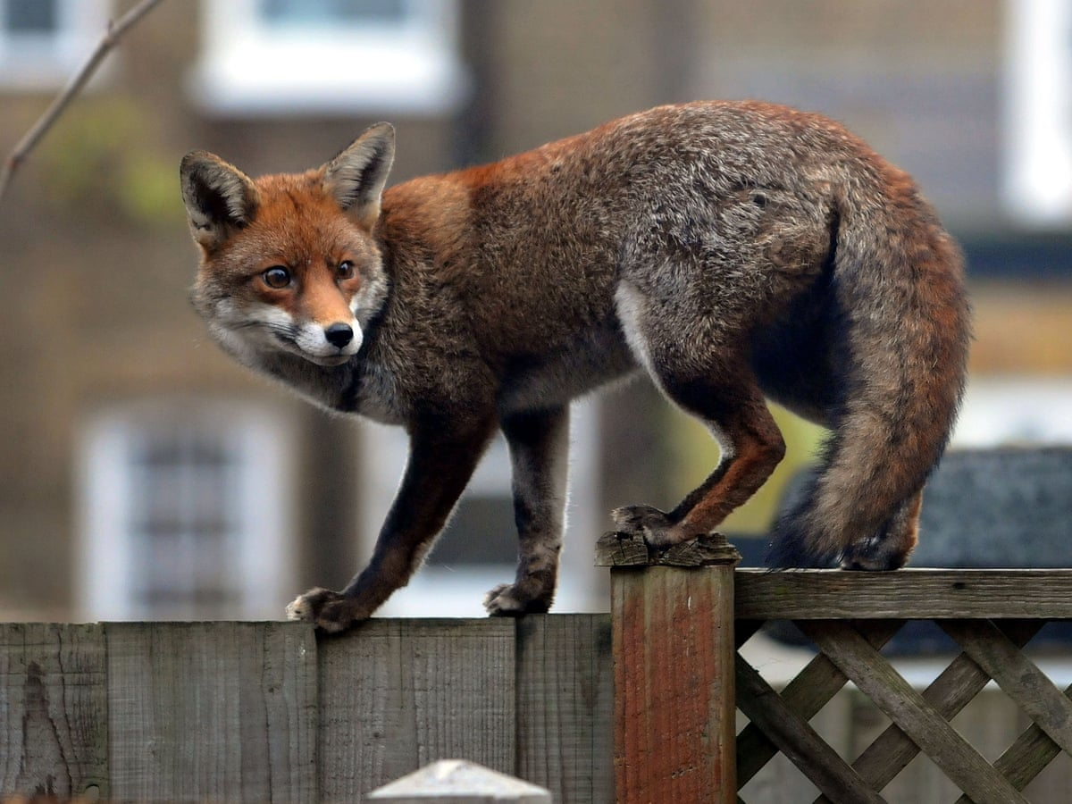 Foxes Surge Into England S Towns And Cities Environment The Guardian