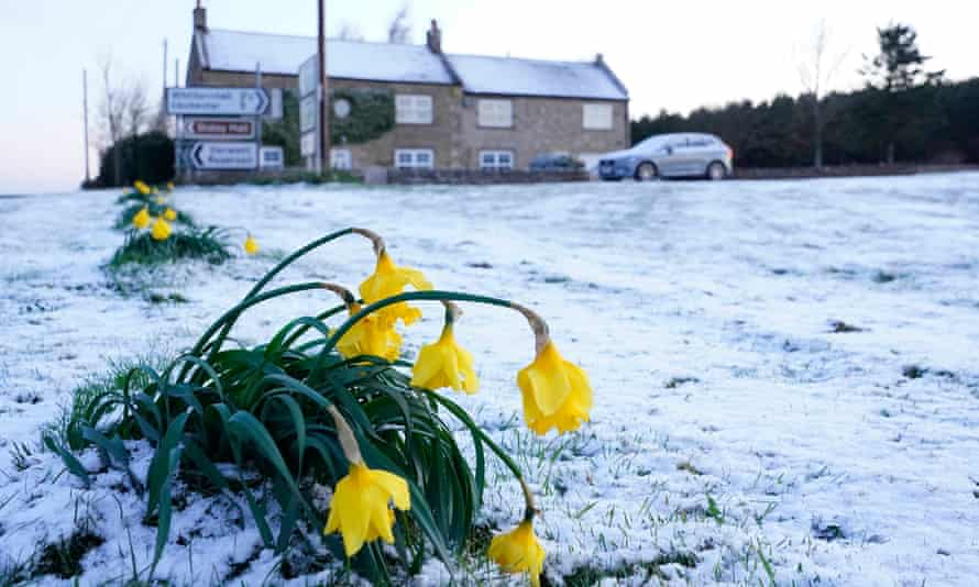 Daffodils wilt in the cold in Slayley, Northumberland
