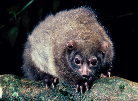 The lemuroid ringtail possum is unable to survive above 29C, according to experts.