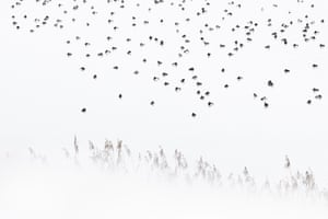 Tufted ducks and pochards