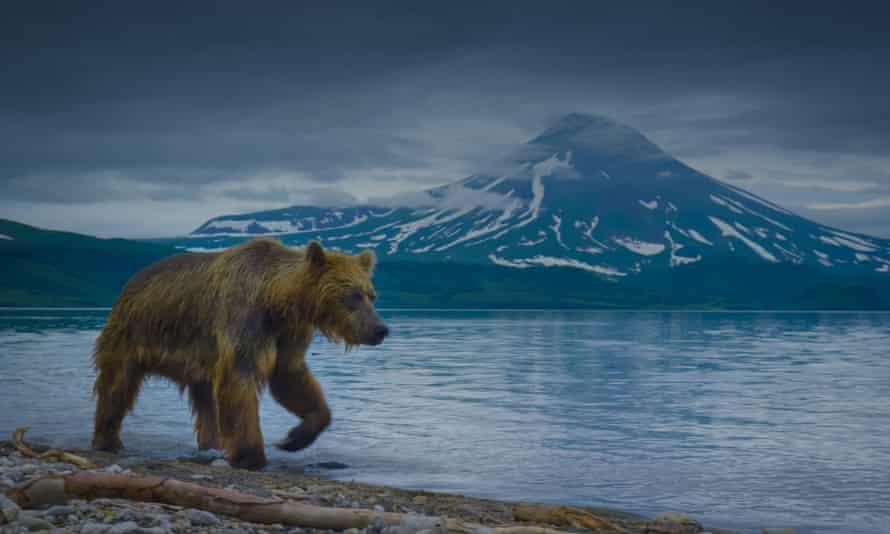 Natural wonder … a brown bear patrols the shore of Kurile Lake, Russia.