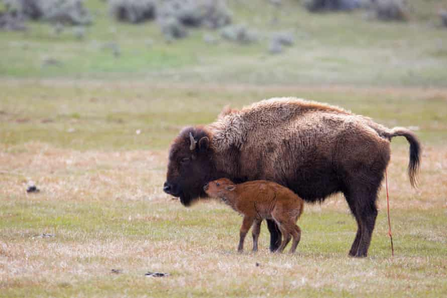 Newly born bison calf and mother