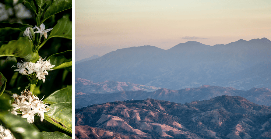 Composite of coffee plants and mountainous view
