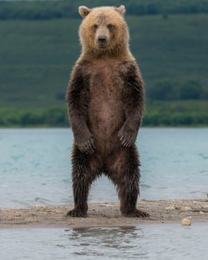 A Kamchatka brown bear at the Kurile Lake n the far east of Russia