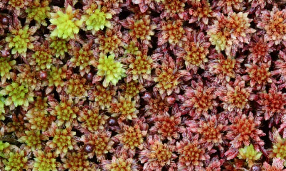 Detail image of Sphagnum moss with red and green hues.