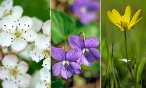 Early bloomers: hawthorn, wood violet and lesser celandine dressed for spring.