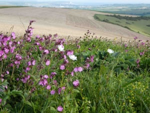Wildflowers on the South Downs