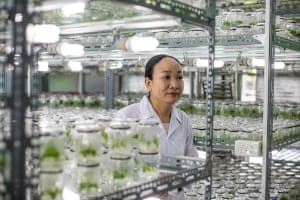 Le Thi Thuy Nga, the nursery manager at Tien Phong forestry company, Huong Thuy town, Vietnam. Here seedlings are produced from plant tissue culture through micropropagation.