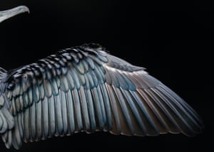 Detail of great cormorant wing (Phalacrocorax carbo) in Hyde Park, London