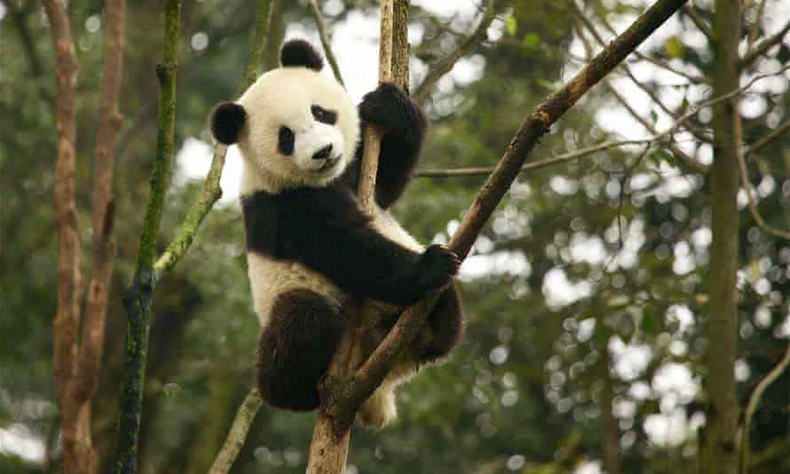 The status of the giant panda has been improved from 'endangered' to 'vulnerable' by the International Union for Conservation of Nature.