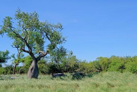 Ceiba trees (Chorisia insignis) in Gran Chaco, Paraguay