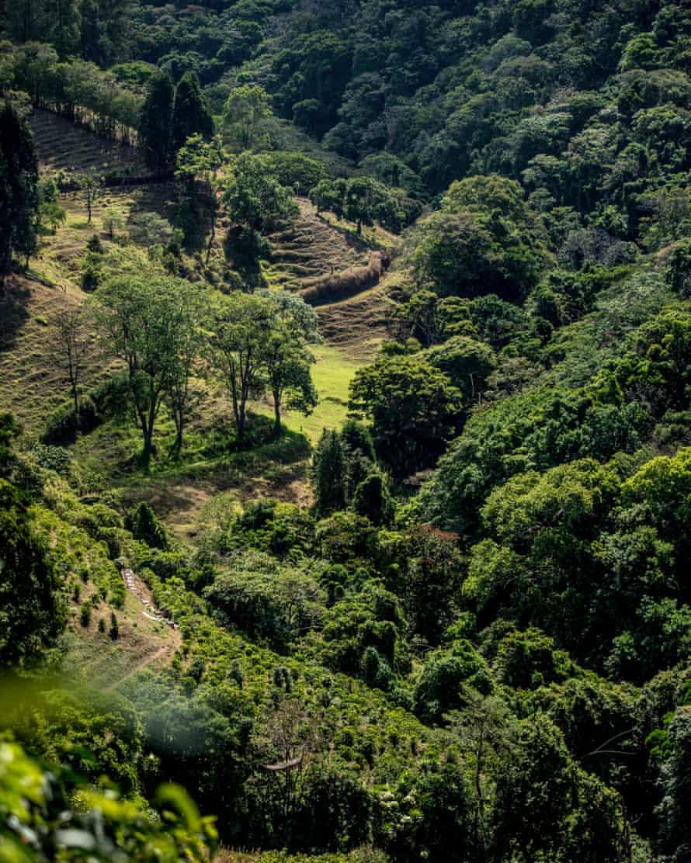 Overhead view of coffee plantation