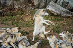 Vincent Guilbaud captures a wolf appearing to perform for his pack in Canada