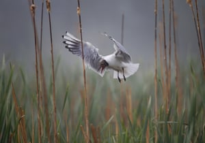 A bird hovers over her nest in the reeds on a foggy day near the Vyazyn, 40 miles north of the capital Minsk in Belarus.