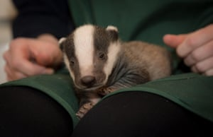 A baby badger poses for the camera in Somerset, England